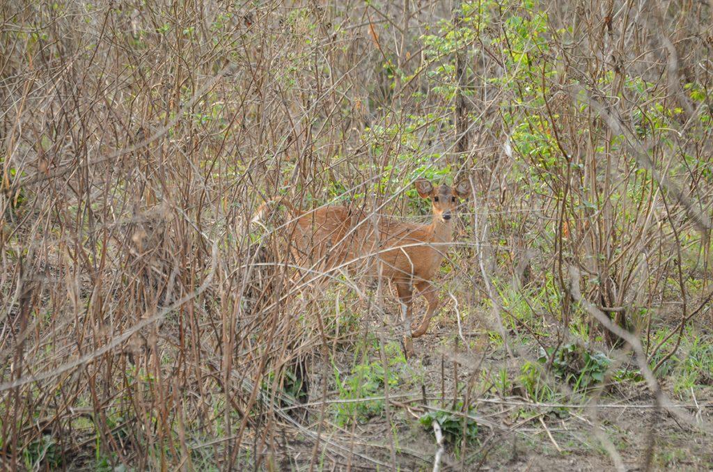 Chitwan Barking Deer