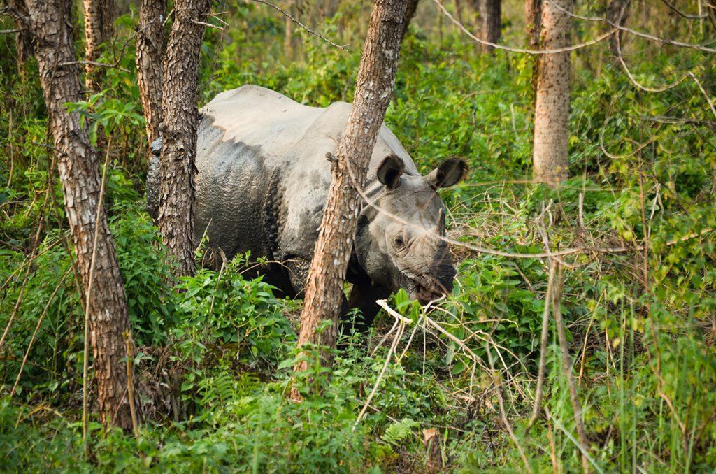 Chitwan One Horn Rhino