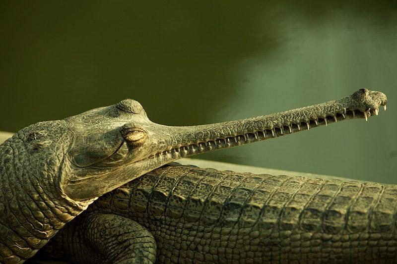 Crocodile-Breeding-Center-Bardia