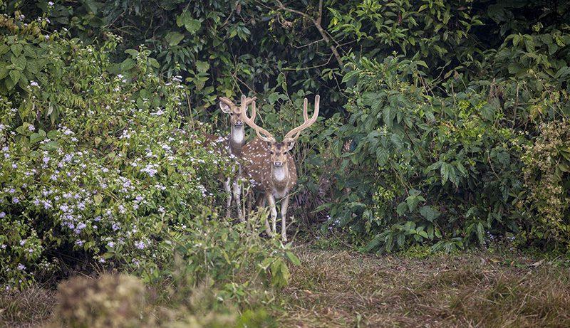 deer-bardiya-national-park