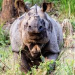 one-horn-rhino-nepal-community-homestay